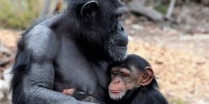 Chimpanzee5Slider