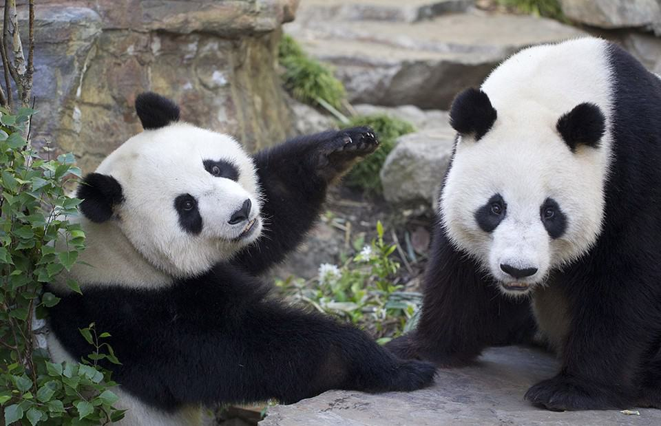 an analysis of the china conservation and research centre for the giant panda in wolong Of wolong nature reserve for giant pandas in china guangming he æ   china's center for giant panda research and conservation  wolong nature.