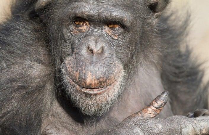 ChimpanzeeSoona