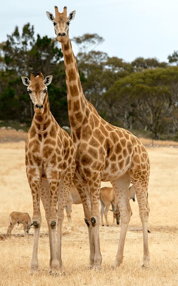 Giraffe tall