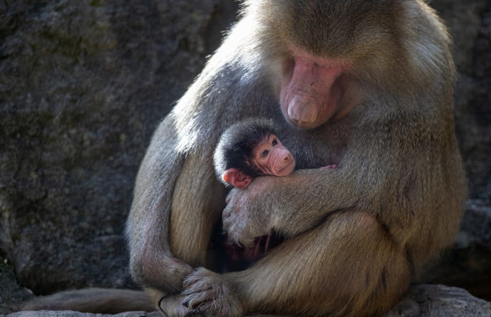 Baby baboon born at Adelaide Zoo! - Zoos SA