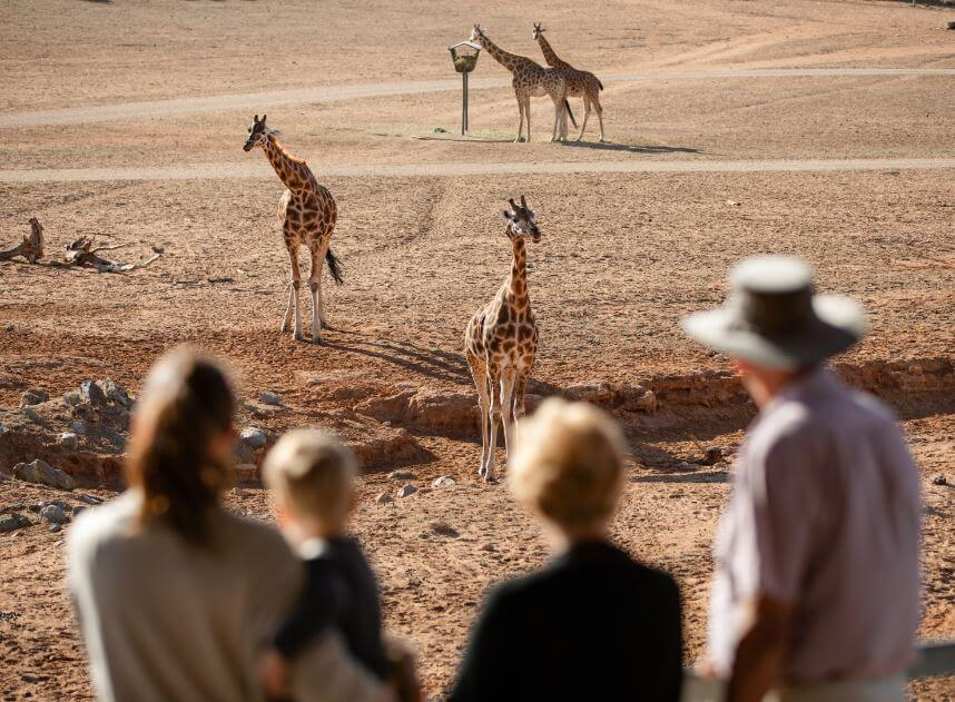 Visitors watching giraffe