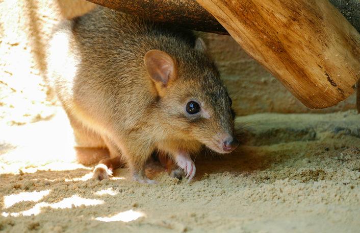 Bettong Zoos South Australia Yorke
