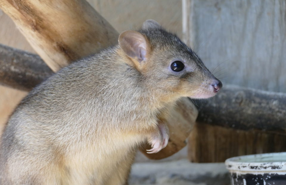 Brush-tailed Bettong, Adelaide Zoo