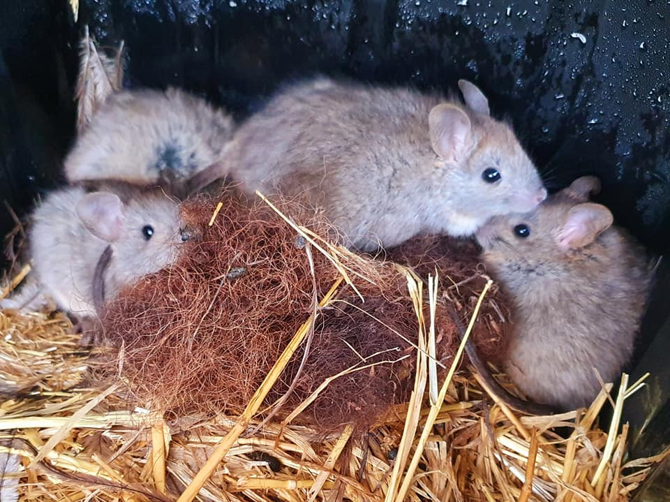 Zoos South Australia Greater Stick-nest Rats pups
