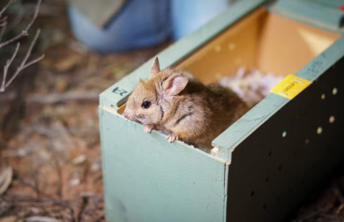 Zoos South Australia Greater Stick-nest Rat release