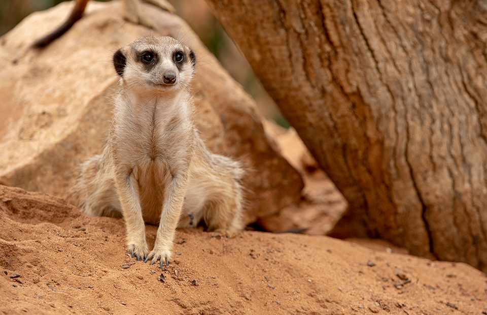 Adelaide Zoo Monarto Safari Park shut covid closure