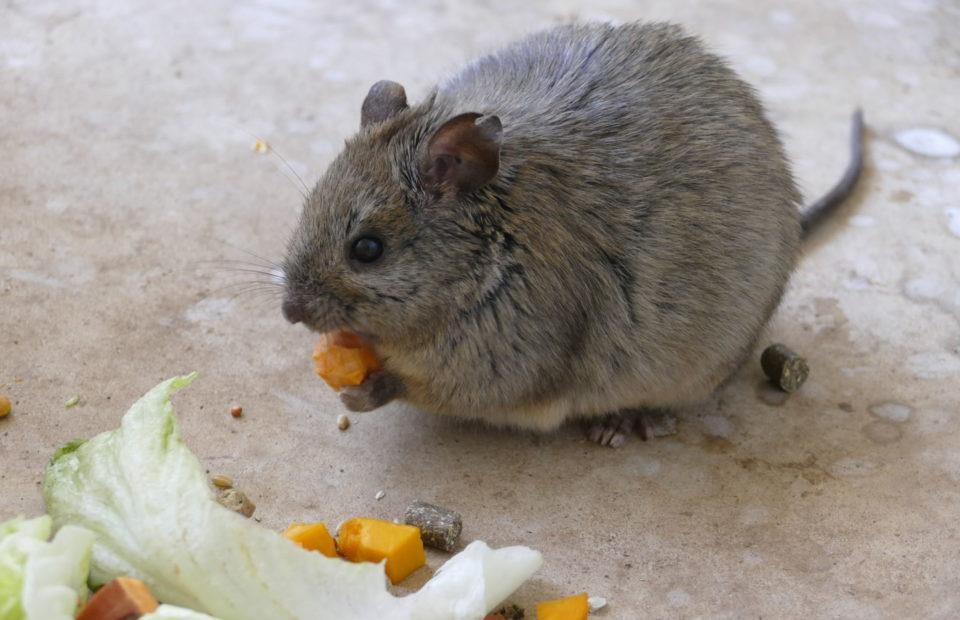 Conservation, Zoos SA, Monarto Safari Park, Adelaide Zoo, Greater Stick-nest Rat