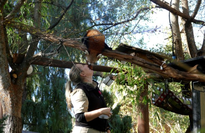 Mishry the Red Panda almost touches noses with her keeper, Laura. Adelaide Zoo
