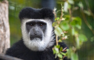 Adelaide Zoo Colobus monkey