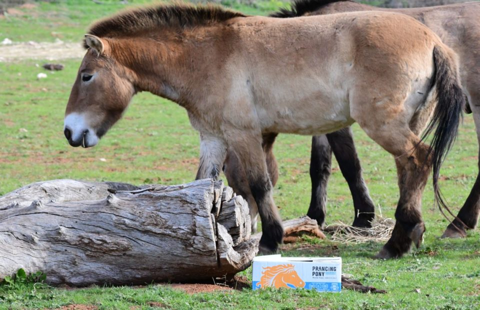 The Przewalski's Horse at Monarto Safari Park, South Australia. Prancing Pony Brewery is working with Zoos SA to help save the species from extinction.