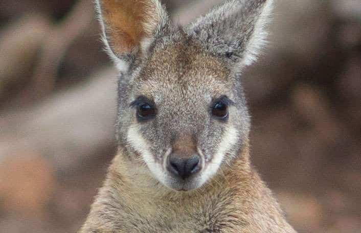 Mainland Tammar Wallaby