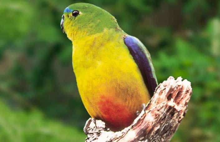 Orange-bellied Parrot - Zoos SA