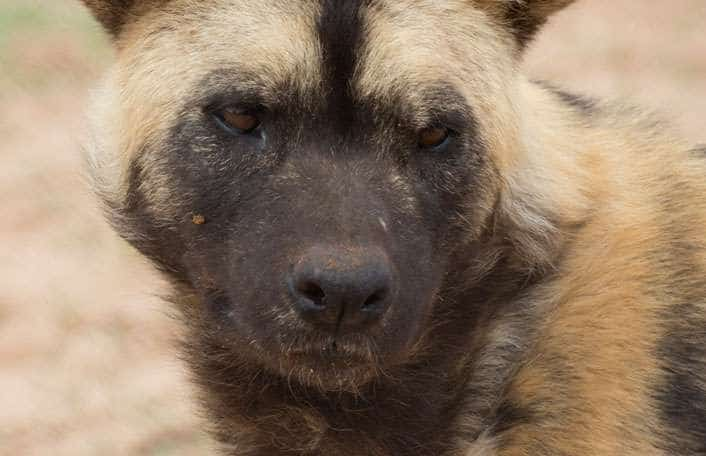 Zambian Wild Dog Conservation